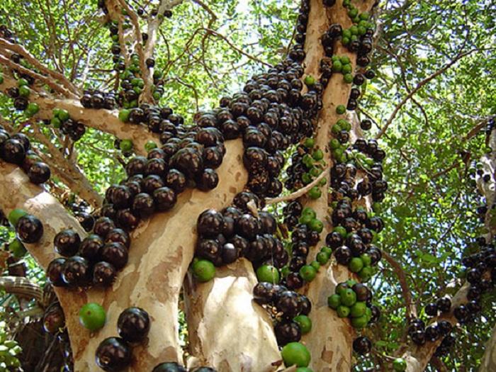 cây giống nho thân gỗ