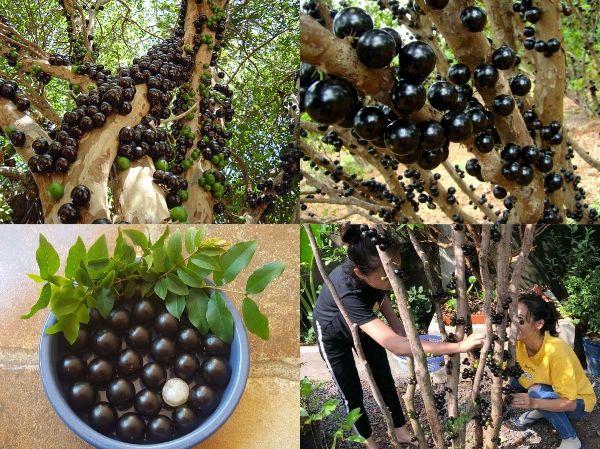 trồng cây nho thân gỗ