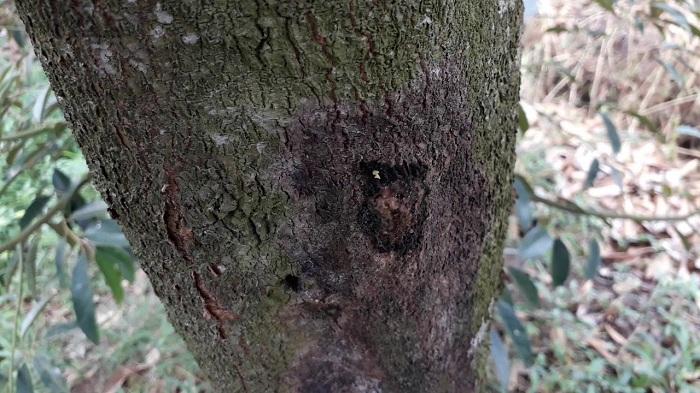 Bệnh thối vỏ cây chảy nhựa