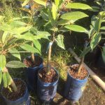 Kỹ thuật trồng sầu riêng Musang King