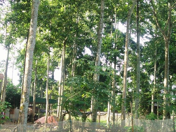 Phân biệt dổi ghép lấy hạt và dỗi ghép lấy gỗ