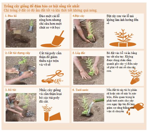 kỹ thuật trồng cây gỗ đàn hương trắng Ấn Độ