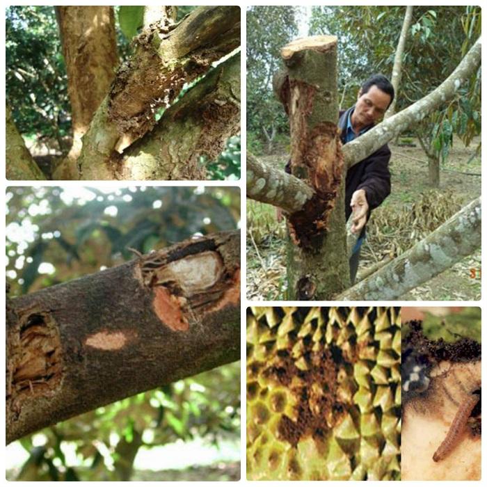 sâu bệnh cây sầu riêng Ri6