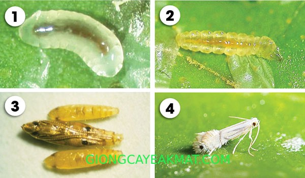 Cách phòng trừ sâu bệnh thường gặp trên cây bưởi Ruby Thái
