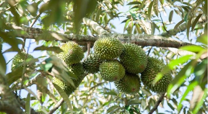 cây sầu riêng Musang King