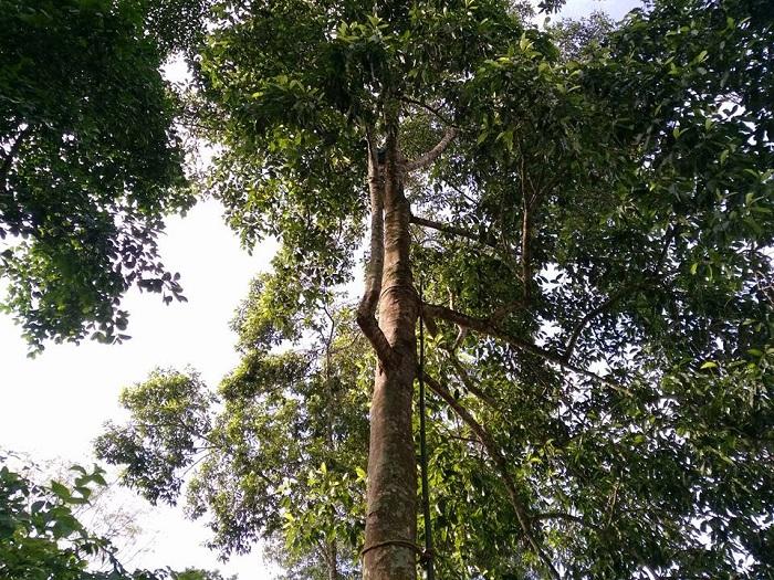 Quy trình kỹ thuật trồng cây dổi xanh ghép
