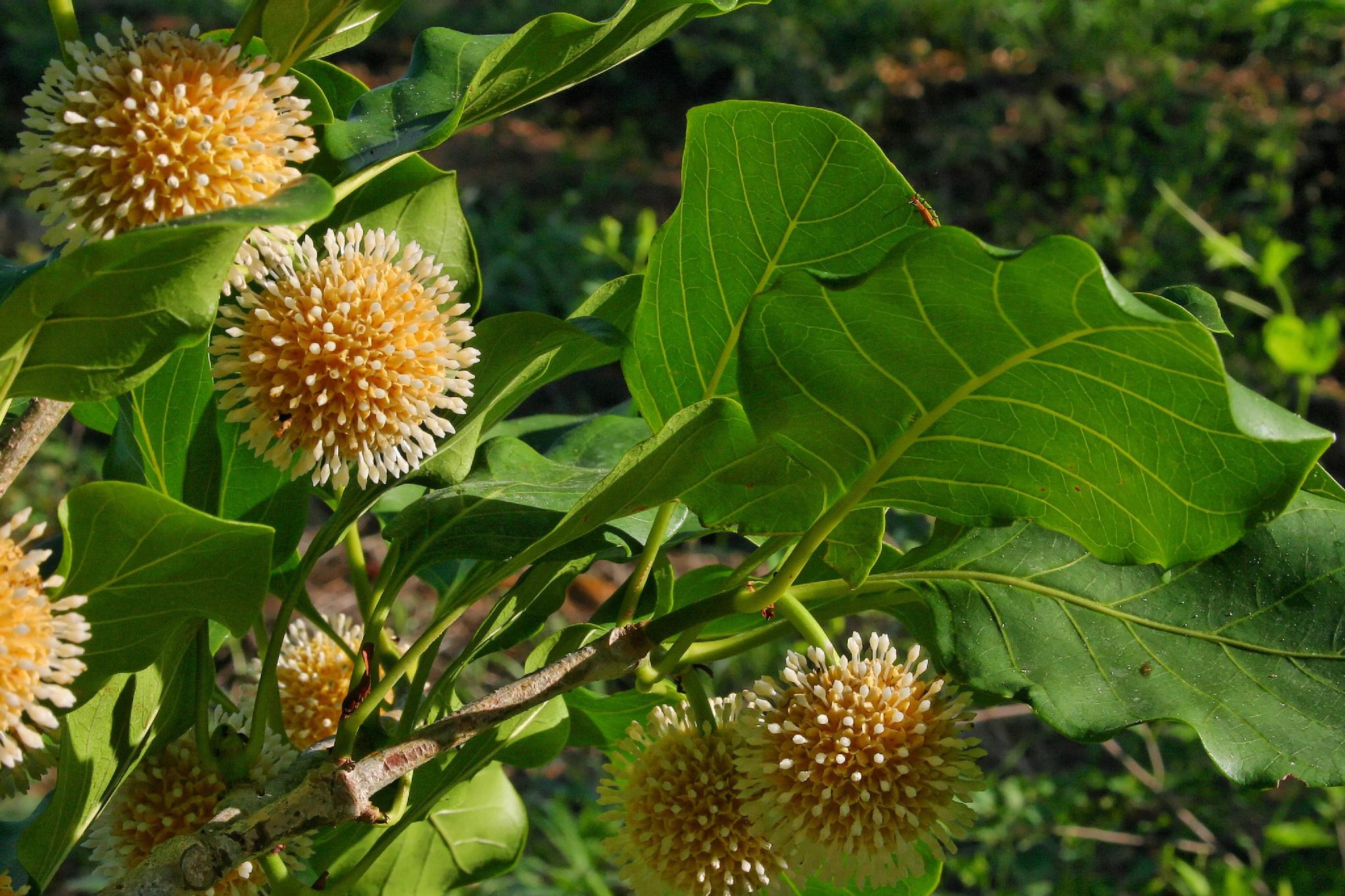 cây gỗ gáo vàng