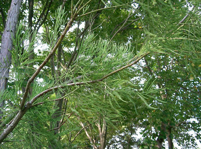 cây thủy tùng lấy gỗ