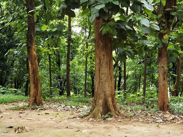 cây giống gỗ tếch